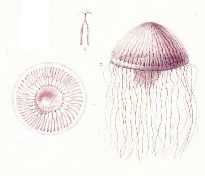 Aequorea undulosa, copy of original illustrations of Péron & Lesueur (1810)