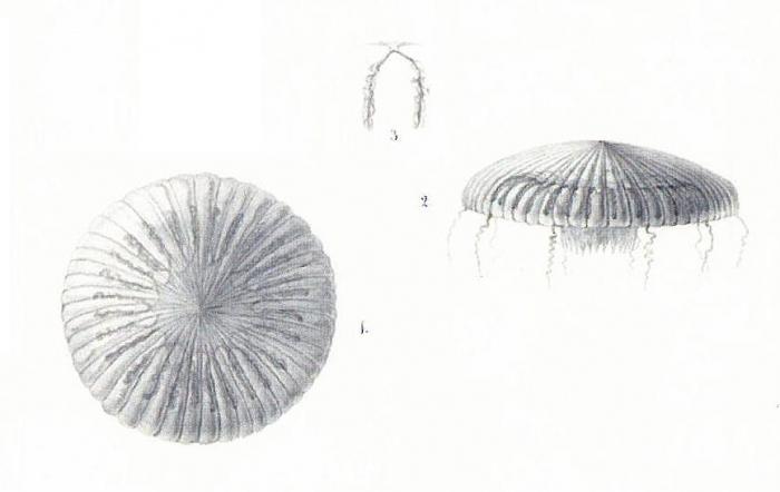 Aequorea pleuronota [= Zygocanna pleuronota], scan of illustration of Péron & Lesueur