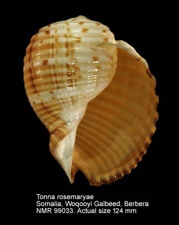 Tonna rosemaryae