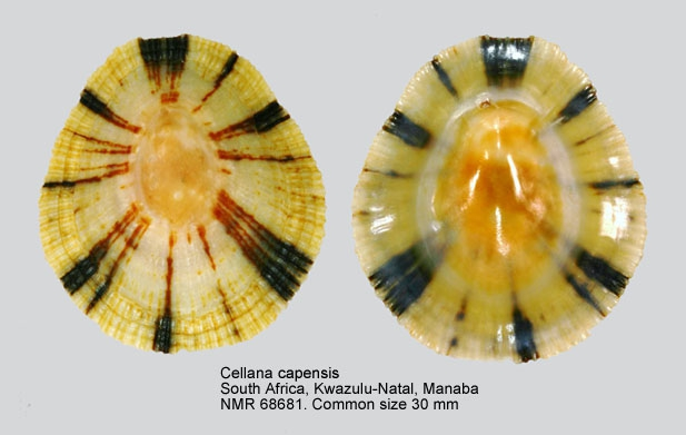 Cellana capensis