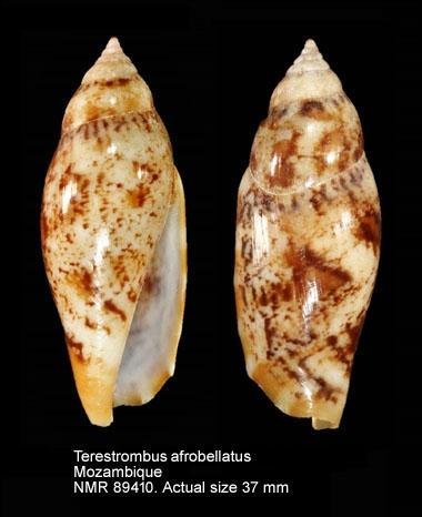 Terestrombus terebellatus afrobellatus