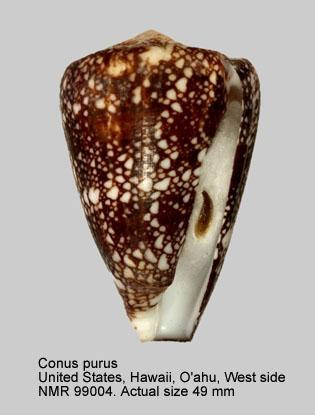 Conus leviteni