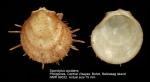 Spondylus occidens