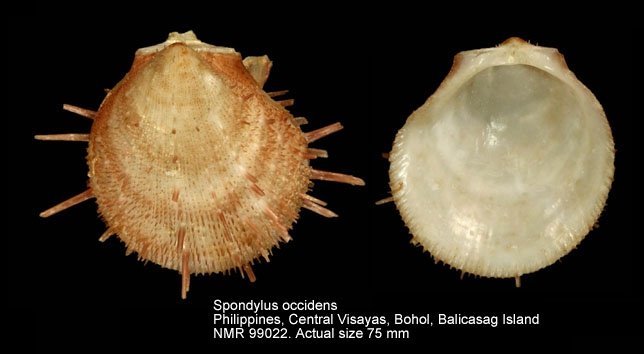 Spondylus occidens