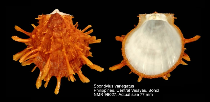 Spondylus variegatus