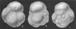 Trochammina xishaensis (Zhang) identified specimen