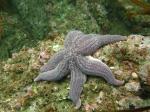 Cosmasterias lurida - Beagle Channel - Tierra del Fuego - Argentina