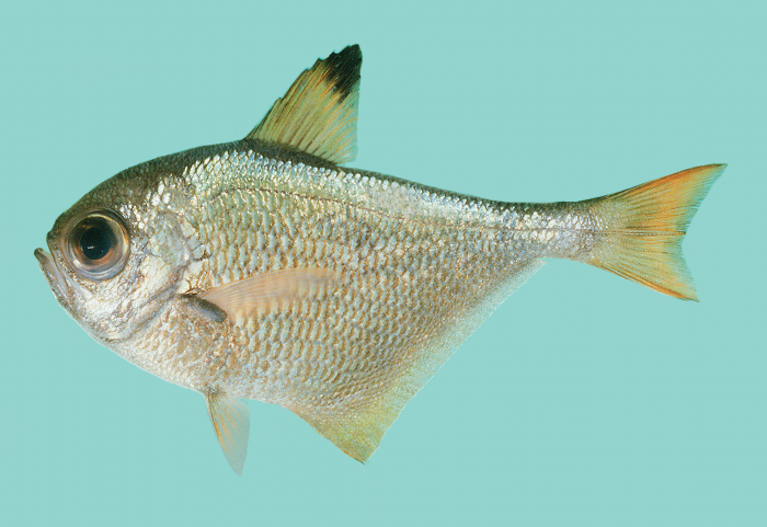 Pempheris convexa