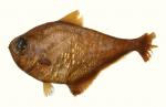 Pempheris cuprea