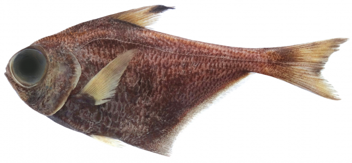Pempheris darvelli