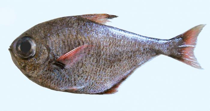 Pempheris eatoni