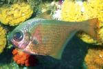 Pempheris nesogallica