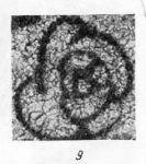 Endothyra glomiformis Lipina, 1948
