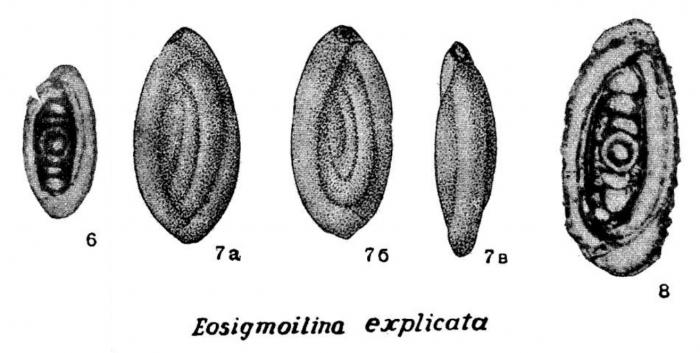Eosigmoilina explicata Ganelina in Kiparisova et al., 1956