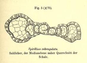 Spirillina subangulata Möller, 1879