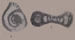 Forschia subangulata (Möller, 1879)