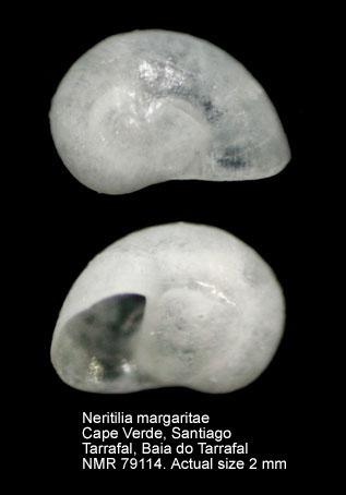 Neritilia margaritae