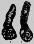 Glomospiroides fursenkoi Reitlinger, 1950