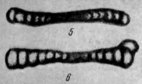 Ammodiscus tenuissimus Reitlinger, 1950