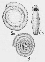 Hemigordius harltoni Cushman & Waters, 1928