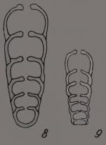 Protonodosaria praecursor (Rauzer-Chernousova, 1949)