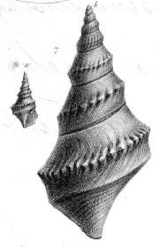 Rostellaria subpunctata von Münster in Goldfuss, 1844, pl. 169, fig. 7a, b