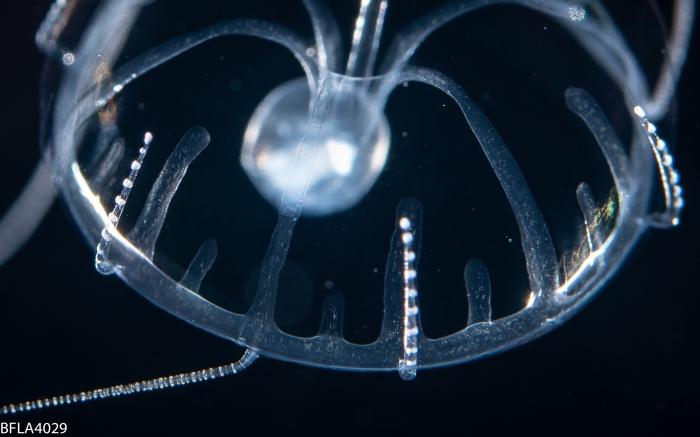 Geryonia proboscidalis, juvenile; Florida, western Atlantic Ocean