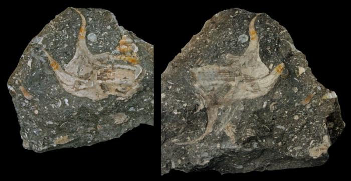 "Biculteriala gratti Kollmann, 2009; ""Gosau Kreide"", upper Cretaceous; Pletzach Alm, Kramsach, Tyrol State, Austria; Coll. Herbert Gratt"