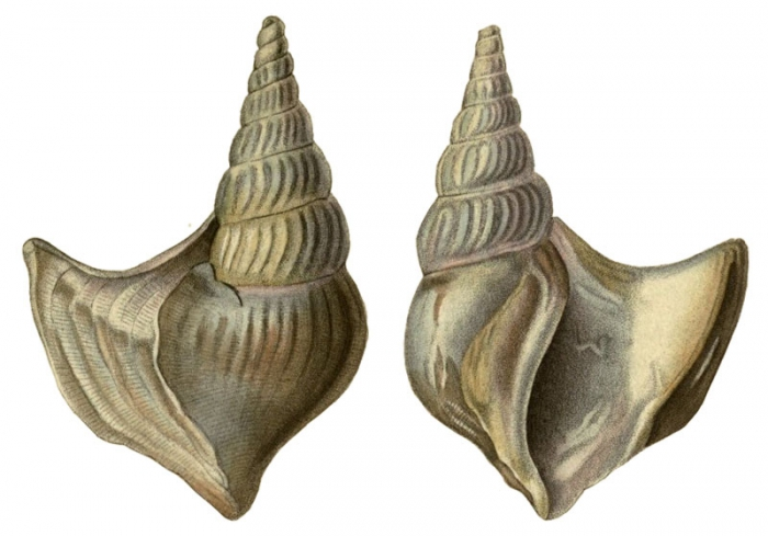 Rostellaria occidentalis Beck, 1836, pl. 72