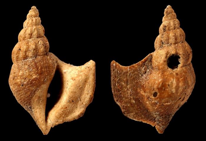 Arrhoges paleocaenica Rosenkrantz 1970; Holotype; Danian, Paleocene; Agatdalen, Central Nuussuaq, Greenland; Coll. Geological Museum, Copenhagen, Denmark no. MMH 10808; Photo Sten Lennart Jacobsen