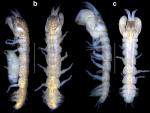 Sinelobus stromatoliticus Rishworth, Perissinotto & Błażewicz, 2018