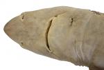 Squalus hawaiiensis Daly-Engel, Koch, Anderson, Cotton & Grubbs, 2018