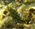 Symphodus (Crenilabrus) roissali (Risso, 1810)