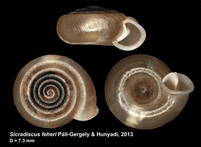 Sicradiscus feheri Páll-Gergely & Hunyadi, 2013