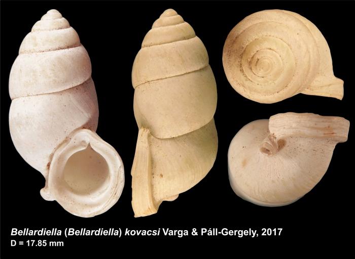 Bellardiella (Bellardiella) kovacsi Varga & Páll-Gergely, 2017