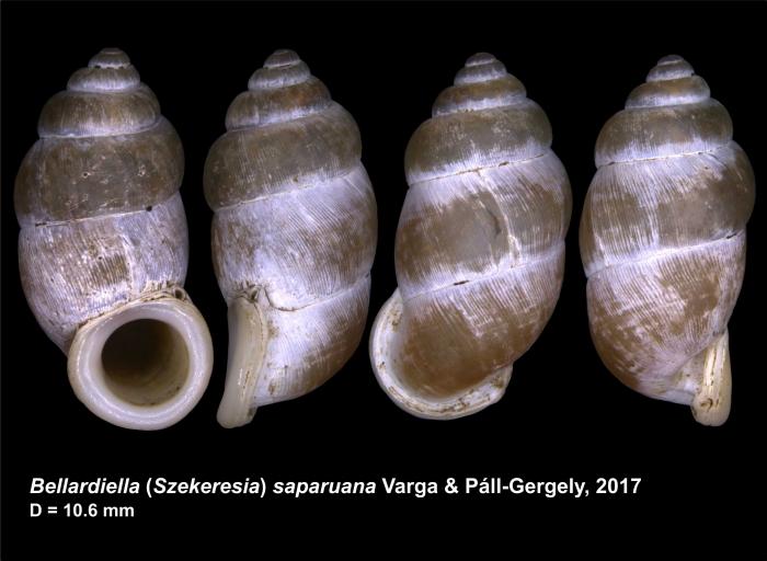 Bellardiella (Szekeresia) saparuana Varga & Páll-Gergely, 2017