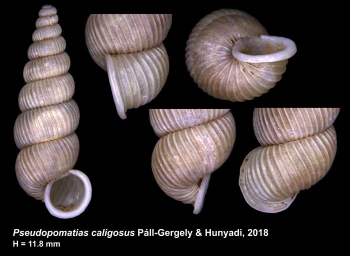 Pseudopomatias caligosus Páll-Gergely & Hunyadi, 2018