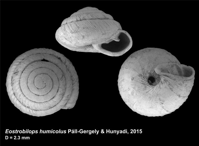 Eostrobilops humicolus Páll-Gergely & Hunyadi, 2015
