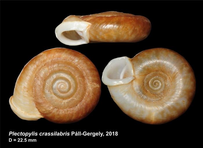 Plectopylis crassilabris Páll-Gergely, 2018