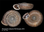 Plectopylis malayana Páll-Gergely, 2018