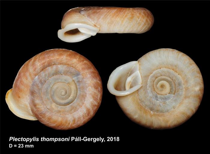 Plectopylis thompsoni Páll-Gergely, 2018
