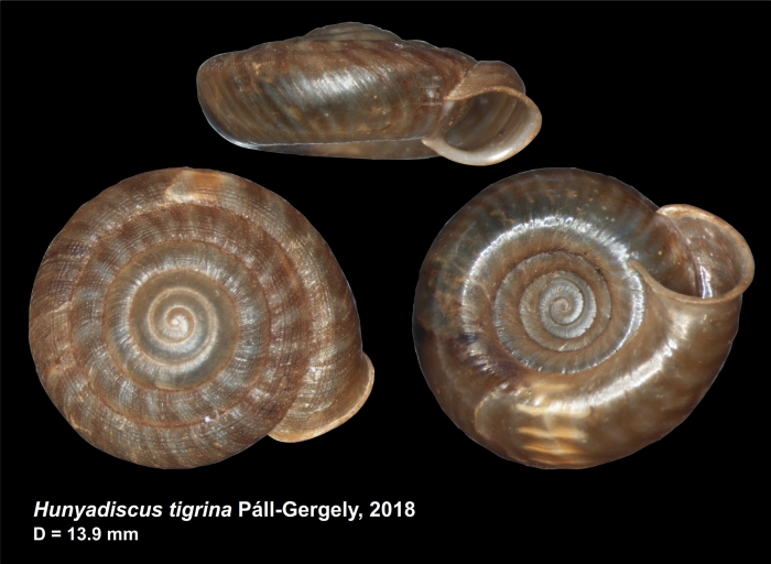 Hunyadiscus tigrina Páll-Gergely, 2018