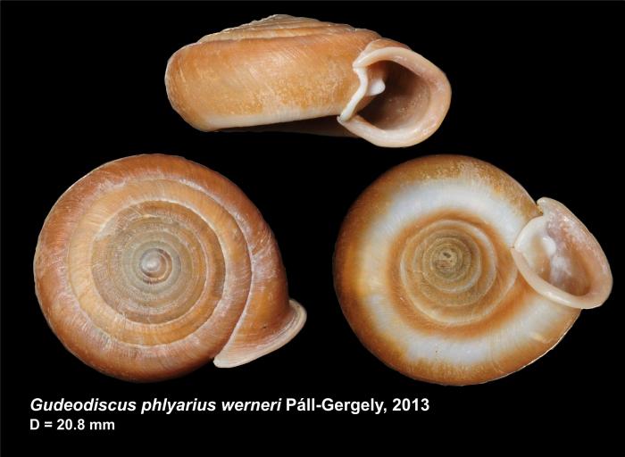 Gudeodiscus phlyarius werneri Páll-Gergely, 2013