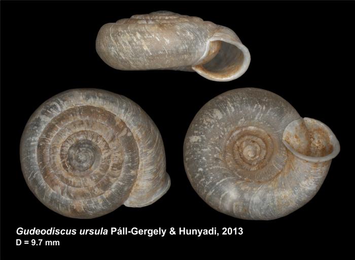 Gudeodiscus ursula Páll-Gergely & Hunyadi, 2013