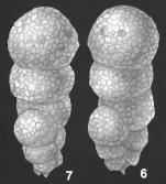 Eggerella australis Collins identified specimen