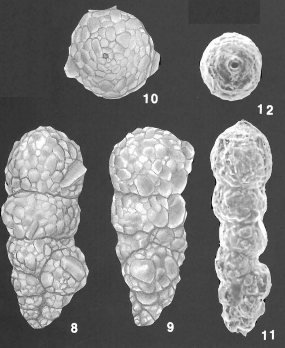 Bigenerina nodosaria d'Orbigny identified specimens