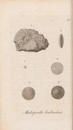 Palorbitolina lenticularis (Blumenbach, 1805)