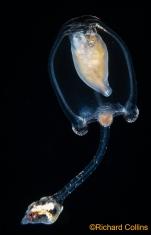 Corymorpha forbesii, medusa; Florida, western Atlantic Ocean