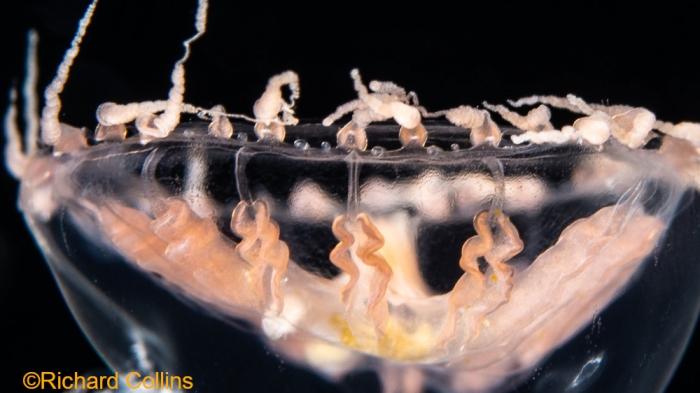 Staurodiscus kellneri, medusa; Florida, western Atlantic Ocean
