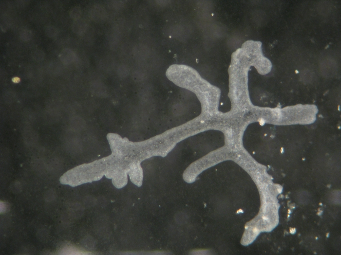 Polyplacotoma mediterranea